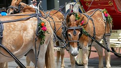 Dragging The Wagon (swong95765) Tags: animals horse wagon parade festive harness street