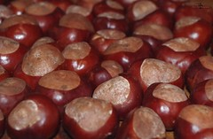 conkers horse chestnuts 2017 (9) (Simon Dell Photography) Tags: conker autumn horse chestnut brown shell large lots loads winter uk england old english game