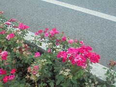 442 (en-ri) Tags: roselline little roses sony sonysti cespuglio verde foglie leaves