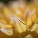 Petals of a Dahlia