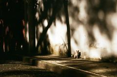 (denn.alano) Tags: cat shadows up diliman fujic200 nikon nikonfilmcamera nikonf80 kodakexpress ishootfilm filmisnotdead