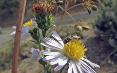 Sweat bee on Pacific aster (TJ Gehling) Tags: insect hymenoptera bee halictidae sweatbee plant flower asterales asteraceae aster pacificaster symphyotrichum symphyotrichumchilense asterchilense canyontrailpark elcerrito