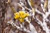 Kleinia neriifolia (Verode) (Ralph Apeldoorn) Tags: loscristianos palmmar spain spanje tenerife arona canarias es kleinianeriifolia verode