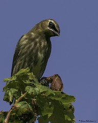 2I1A3494a (lfalterbauer) Tags: young immature juvenile canon 7dmarkii avian cedarwaxwing ornithology birdwatcher peacevalleypark lakegalena newbritain