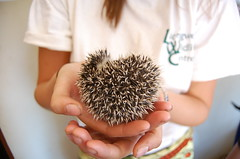 "Hedgehod • <a style=""font-size:0.8em;"" href=""http://www.flickr.com/photos/152934089@N02/37566426126/"" target=""_blank"">View on Flickr</a>"
