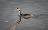 Potápka roháč (Podiceps cristatus), Bohdanečský rybník (Pavel Trhon) Tags: ptáci pták vodní water bohdaneč rybník pond birds