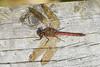 Dragonfly Posing (paulinuk99999 (lback to photography at last!)) Tags: paulinuk99999 dragon dragonfly eating prey october autumn fall 2017 collegelake bedfordshire wildlife sal70400g