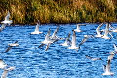 you wait for one bird in flight and get quite a lot more than you bargained for (I was blind now I see!) Tags: seagulls flying bird birds birding lake birdinflight water