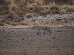 PA042536 Leopard (Joanna P Dale) Tags: kgalagaditransfrontierpark matamata olympus omdem1mkii panasonic100400 africanleopard leopard