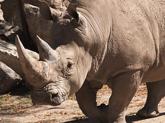 Southern White Rhino at the Reid Park Zoo (Distraction Limited) Tags: reidparkzoo reidpark zoos tucson arizona reidparkzoo20171007 genereidpark southernwhiterhino ceratotheriumsimum whiterhinoceros squarelippedrhinoceros rhinoceros ceratotherium rhinos