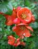 Айва японська (Chaenomeles japonica) (Gansucha) Tags: chaenomeles rosaceae