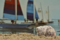 Schelp/ shell (Agnes Van Parijs) Tags: macromondays macro spiral postcard sea