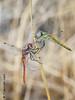 Dating (Fernando Guirado) Tags: 2017 agosto aspa lleida macro macrofotografia macrophoto macrophotography macrofoto dragonfly libélula sony 90mmfe 90mm sonyfe90mm nex6 nex closeup two sympetrumfonscolombii male female