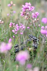 adder (Vipera berus) in heather (willjatkins) Tags: adder adders snakes snake snakesofeurope europeanreptiles europeansnakes europeanwildlife wildlife wildlifeofeurope venomoussnake viperaberus viper vipera northernviper heathlandwildlife heathland heathlandreptiles heathlandsnakes animalinhabitat britishwildlife britishamphibiansandreptiles britishreptilesandamphibians britishreptiles britishsnakes ukwildlife ukreptilesandamphibians ukamphibiansandreptiles ukreptiles uksnakes dorsetwildlife dorsetreptiles dorsetsnakes purbeckwildlife purbeckreptiles purbeck nikond610 sigma105mm animalportrait closeupwildlife macrowildlife