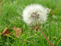 Blow. (Simply Sharon !) Tags: dandelion dandelionclock seeds wildflowers wildplants nature autumn october