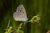 Lesser Grass Blue (Chaitanya Shukla) Tags: 201709waghapur butterfly lessergrassblue macro maharashtra pune saswad saswad2017092ndtrip waghapur zizinaotis