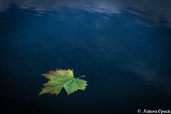 One Today Is Worth Two Tomorrows (_Natasa_) Tags: leaf water park derby autumn autumnleaf floatingleaf nature natasaopacic natasaopacicphotography canon canonef2470mmf28liiusm art artisticphotography
