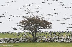 Barnacle Goose  /Vitkindad gås (Branta leucopsis) (Hans Olofsson) Tags: barnaclegoose vitkindadgås brantaleucopsis öland ottenby bird fågel fåglar sweden höst höstflytt