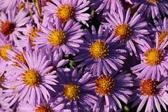 Asters (gripspix) Tags: 20171016 nature autumn herbst aster herbstaster purple blassviolett dew tau macro makro