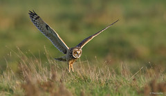 Velduil - Short-eared Owl - Asio flammeus -3645 (Theo Locher) Tags: shortearedowl velduil sumpfohreule hiboudesmarais asioflammeus birds vogels vogel oiseaux belgium belgie copyrighttheolocher