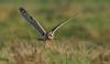 Velduil - Short-eared Owl - Asio flammeus -3645 (Theo Locher) Tags: shortearedowl velduil sumpfohreule hiboudesmarais asioflammeus birds vogels vogel oiseaux belgium belgie copyrighttheolocher