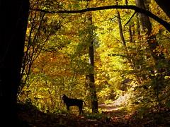 őszi alagút / autumn tunnel (debreczeniemoke) Tags: ősz autumn színes színpompás colorful október october erdő forest kutya dog frakk erdélyikopó transylvanianhound olympusem5