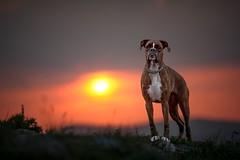 Last light (Tamás Szarka) Tags: dog pet animal puppy boxer boxerdog nikon sunset light