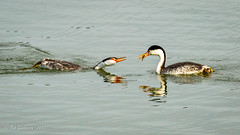 """Ain't Too Proud to Beg"" for my food (Bob Gunderson) Tags: aechmophorusclarkii birds california clarksgrebe grebes lakemerced northerncalifornia sanfrancisco swimmingbirdsother"