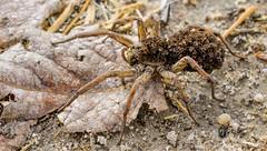ARAÑA LOBO, Lycosa tarantula (AMínguezm) Tags: macrofotografia araña tarantula crias animal nationalgeografic españa madrid bugs spiders amateur light