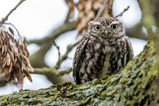 Another Oldie - Little Owl