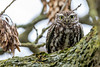 Another Oldie - Little Owl (irelaia) Tags: little owl calkeabbey seen me watchful