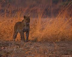 IMGP5788 Early Morning (Claudio e Lucia Images around the world) Tags: leopard leopardo earlymorning sunrise zambia bush safari savana chamilandu chamilandubushcamp bushcompany thebushcompany southluangwa pentax pentaxk3ii sigma sigma150500 nature wildlife africawildlife africa