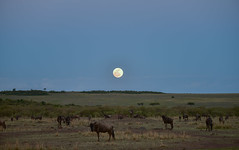 African Safari. Night in savanna. (Lena and Igor) Tags: travel africa kenya masaimara safari night moon wildebeest herd grazing dslr nikon d810 fx sigma 150600 contemporary