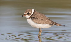 Semi-Palmated Plover (mandokid1) Tags: canon ef400mmdoii 1dx birds shorebirds