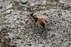 Ichneumon sp. (Cefn Ila) Tags: ichneumon wasp aberthawleys insect