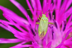 Hemiptera bug - Closterotomus norwegicus- meadows Middlebere Dorset (ailognom2005) Tags: hemipterabug stenotusbinotatus meadowsmiddleberedorset dorset dorsetwildlife middleberedorset