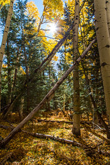 Aspen & Pine (SDC Photo) Tags: 5d mark iii flagstaff az arizona beautiful yellow aspen tree pine hike sun sdc photography