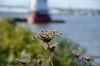 """Queen Anne's Lace at Kingsland Point"" (Photography by Sharon Farrell) Tags: queenanneslace sleepyhollow sleepyhollowlight sleepyhollowlighthouse tarrytown sleephollow sleepyhollownewyork tarrytownlight tarrytownlightstation hudsonriver autumnonthehudsonriver hudsonrivervalley newyork kingslandpointpark"