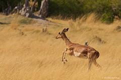 IMGP9159 Ready to take off (Claudio e Lucia Images around the world) Tags: impala flyingimpala takeoff moremi wildlife chobe botswana africa sigma sigma150500 pentax pentaxk5 nature
