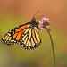 Migrating Monarch