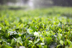 Leaves (Mainak Roy Camerawork) Tags: canon 600d top t3i flickr leaves blur green tea rain plant