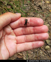 20170726_2 Tiny frog | The Bohusleden trail, section 5 - Jonsered to Angereds Kyrka | Near Gothenburg, Sweden (ratexla) Tags: ratexlasbohusledenhike bohusleden bohusledenetapp5 26jul2017 2017 canonpowershotsx50hs gothenburg göteborg goteborg nature sweden sverige scandinavia scandinavian europe nordiccountries norden skandinavien beautiful earth tellus photophotospicturepicturesimageimagesfotofotonbildbilder hiking hike life organism biology wildlife frog frogs baby babies animal animals nonhumananimal nonhumananimals cute cool zoology djur groda grodor wild vild vilda amphibian amphibians groddjur amfibier herp herps europaeuropean bäbis gsgsgs favorite journey vacation holiday semester resaresor landscape scenery scenic ontheroad sommar