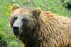 Taking a Bath - Kamchatka Bear (seahawkgfx) Tags: ursos arctos piscator brown bear kamchatka zoom gelsenkirchen zoo