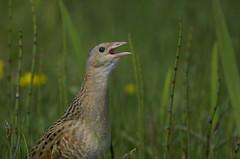Corn Crake (J J McHale) Tags: corncrake crexcrex bird crake nature wildlife scotland
