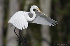 Great Egret sticks a landing (danielusescanon) Tags: wild animal greategret ardeaalba pelecaniformes ardeidae huntley meadows virginia huntleymeadows