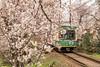Tunel-Sakura-Kioto-Randen-32 (luisete) Tags: hanami japan japón randen túneldesakura tranvía tramway kioto kyoto