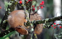 Sciurus vulgaris (Wanha-Erkki, Old Eric, Gammal Erik, Старая) Tags: orava redsquirrel sciurusvulgaris