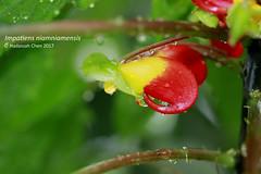 Impatiens niamniamensis (Wonder Kitsune) Tags: impatiensspecies rainforestplant ornamentalplant impatiensniamniamensis exoticplant africanplant exoticflower congocockatoo