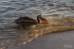 Juvenile Brown Pelican at Golden Hour (Don Dunning) Tags: animals bird birds brownpelican california ocean pelican princeton unitedstates water halfmoonbay
