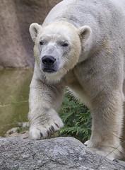 Nikita (ucumari photography) Tags: ucumariphotography polarbear ursusmaritimus oso bear animal mammal nc north carolina zoo osopolar ourspolaire oursblanc eisbär ísbjörn orsopolare полярныймедведь nikita octobr 2017 dsc9541 specanimal 北極熊
